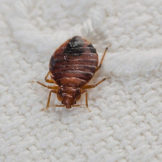 Bed Bugs, Pest Control in Leytonstone, E11. Call Now! 020 8166 9746