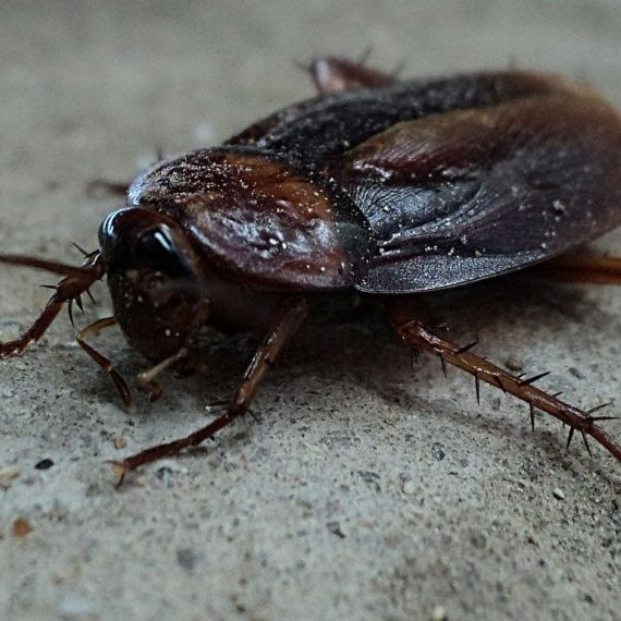 Cockroaches, Pest Control in Leytonstone, E11. Call Now! 020 8166 9746