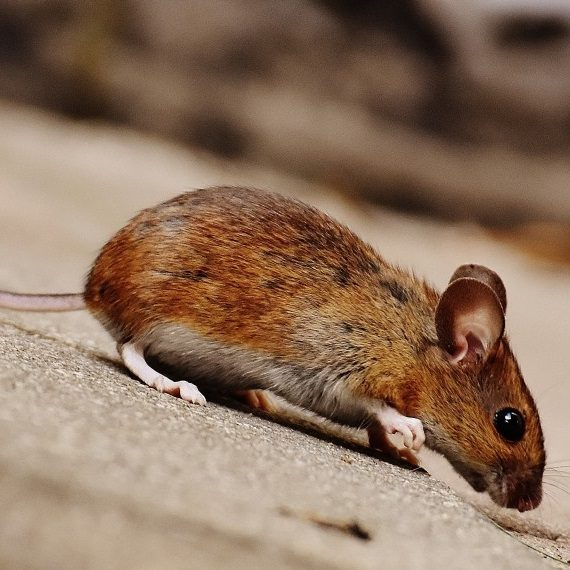 Mice, Pest Control in Leytonstone, E11. Call Now! 020 8166 9746