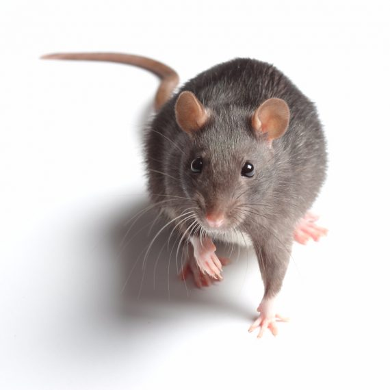 Rats, Pest Control in Leytonstone, E11. Call Now! 020 8166 9746