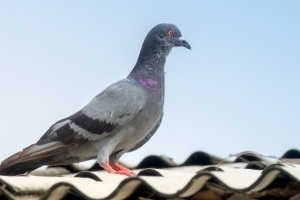 Pigeon Control, Pest Control in Leytonstone, E11. Call Now 020 8166 9746