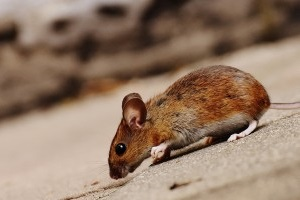 Mouse extermination, Pest Control in Leytonstone, E11. Call Now 020 8166 9746